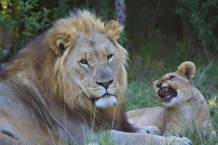 Lions on Sibuya Game Reserve Facebook page