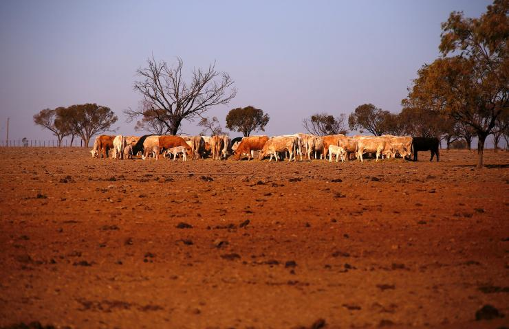 The remaining cattle on farmer May McKeown's drought-affected property, located on the outskirts of the northwestern New South Wales town of Walgett in Australia, eat hay July 20, 2018. Picture taken July 20, 2018.