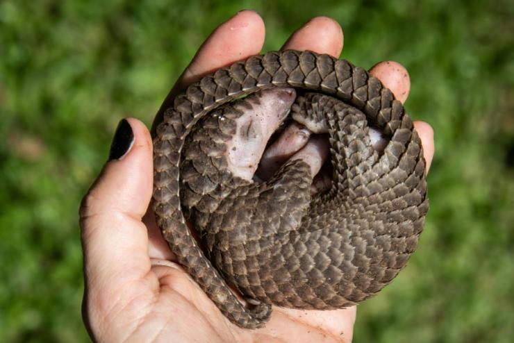 Myanmar is a hub for the illegal trafficking of wildlife such as pangolins -- a trade driven by demand from China