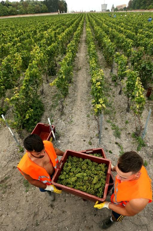Harvesters load crates of green-skinned Chardonnay grapes in the vineyard of  Champagne house Pommery-Vranken