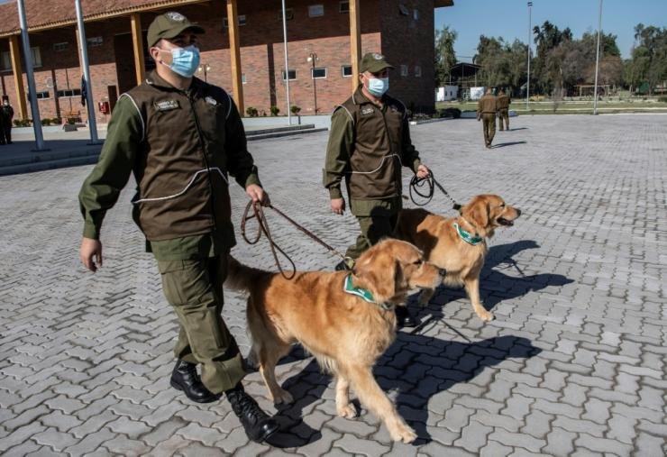 The canine trainees began their education one month ago, and will use sweat samples taken from COVID-19 patients being treated at the Universidad Catolica's clinic