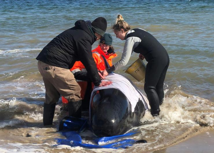 A rescue crew has concentrated efforts on a group of whales partially submerged in the water after hundreds of them were stranded in Tasmania, Australia
