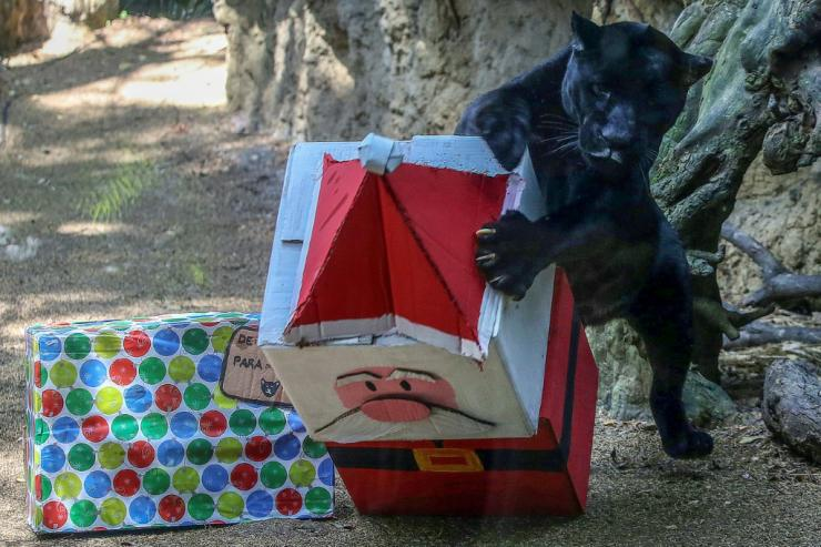 A black jaguar receives food wrapped as a Christmas gift at Cali Zoo in Colombia