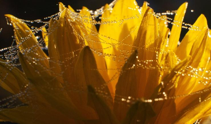 Scientists can use spider silk to make optical lenses