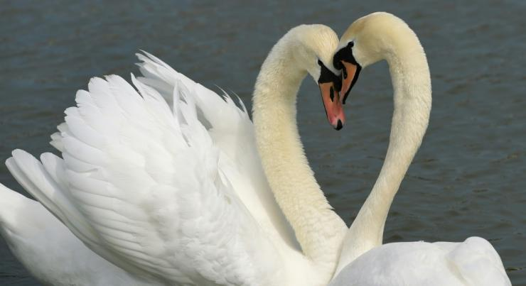 According to Britain's Royal Society for the Protection of Birds, swans try to find a mate for life