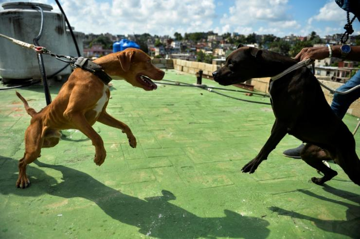 Dog fights are banned under Cuba's new animal-welfare law